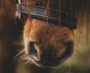 Ascend Equestrian Horses